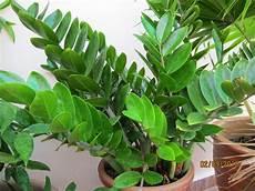 Shades Of Grey Zz Plant Zamioculcas Zamiifolia