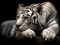 Harimau Putih Dam Background