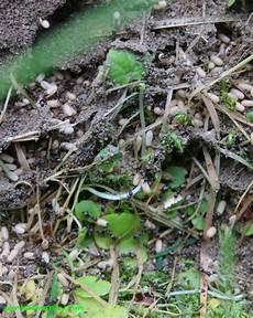 ameisen im beet einen ameisenstaat evakuiert sich punktemarie