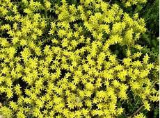 bodendecker gelb winterhart bodendecker f 252 r sonnige standorte mein sch 246 ner garten
