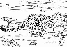malvorlage gepard tiere kostenlose ausmalbilder
