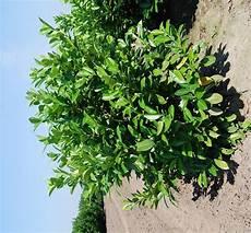 Laurier 150 175 Cm Prunus Arbustes Pour Haies Pas
