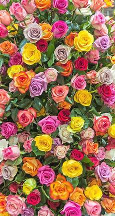flower wallpaper for phone screen pink yellow lilac roses iphone wallpaper background phone