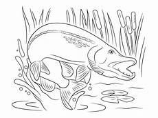 Ausmalbilder Fische Hecht Ausmalbilder Ausmalbilder Hecht Zum Ausdrucken