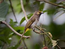 Terkeren 11 Gambar Burung Opior Paruh Tebal Jantan Dan