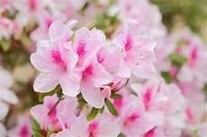 fiori azalee 7 fiori primaverili d appartamento da coltivare pollicegreen