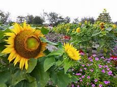 Gambar Gradasi Warna Bunga Matahari Koleksi Gambar Bunga