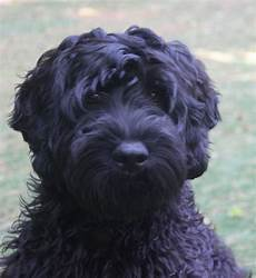 black labradoodle haircuts grooming black labradoodle puppy black labradoodle labradoodle puppy