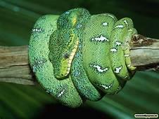 My Toroool HD Wallpaper Of Green Snake