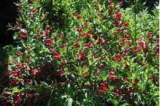 arbustes à fleurs rouges le weigela 171 centre de jardin boutique cadeau p 233 pini 232 re