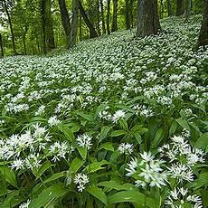 Image Ail Des Ours Fleur Jpg Wiki Accord Obiou
