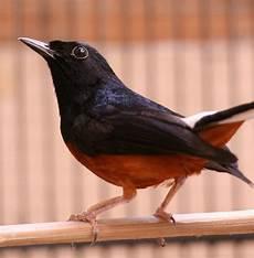 Ons Bird Farm Cara Perawatan Burung Murai Batu