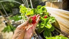erdbeeren auf dem balkon anleitung f 252 r das pflanzen in