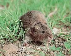 Se D 233 Barrasser Des Rats Taupiers Taupier Sur La