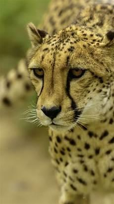 cheetah wallpaper for iphone 3d animal iphone wallpapers top free 3d animal iphone