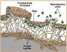 Biologi Gonzaga Lichenes Lumut Kerak