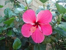 flor cayena del estado trujillo la cayena en su proceso para florecer y sus propiedades steemit