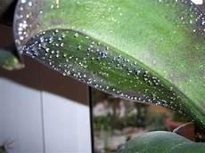 orchideen läuse klebrig orchidee klebrige durchsichtige tropfen pflanzen