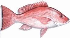 Jenis Jenis Ikan Kakap