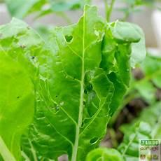 culture des blettes culture des blettes semis entretien r 233 colte jardipartage