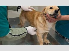 treatment for pneumonia in dogs
