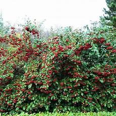 cotoneaster lacteus plante en godet cotoneaster