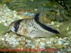 Makanan Ikan Hias Corydoras profil dan klasifikasi ikan hias corydoras serta cara