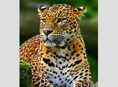 Sri Lankan Leopard   Beauteous Sri Lanka