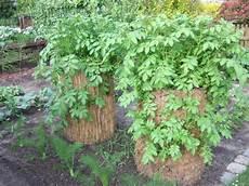 kartoffelanbau im garten der kartoffelturm kartoffeln auch in kleinen g 228 rten