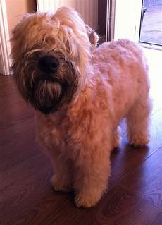 haircuts for wheaten terriers 9 best wheaten terrier images on pinterest wheaten terrier terrier and terriers