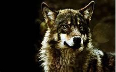 Wolf Desktop Wallpaper Hd