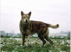 Photos Chien loup de Saarloos, chiens de race Chien loup