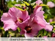 hibiskus hochstamm schneiden hibiskus richtig schneiden anleitung und zeitpunkt