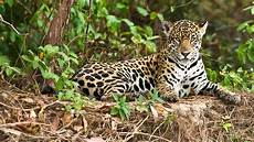 where is the best place to see jaguars natural world safaris