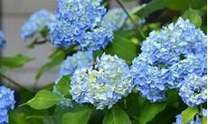 tailler les hortensias photos hortensias hydrangea quand les tailler nos conseils