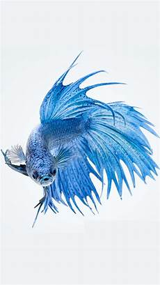 Iphone 6s Blue Wallpaper Background by Apple Iphone 6s Wallpaper With Blue Betta Fish In White