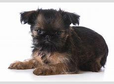 Brussels Griffon Puppies For Sale   AKC PuppyFinder