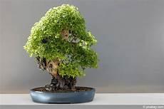 zimmerbonsai geeignete indoor bonsai arten pflege