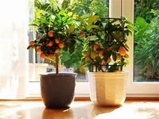 zitronenbaum uberwintern im wohnzimmer den zitronenbaum 252 berwintern im wohnzimmer so kann es