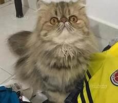 gattina persiana regalo gattina tricolore posot class
