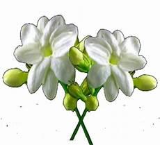 Gambar Bunga Bunga Melati