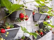 erdbeeren vertikal anbauen anleitung tipps zum