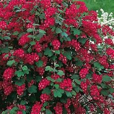 arbustes à fleurs rouges groseillier 224 fleurs arbustes 224 floraison printani 232 re