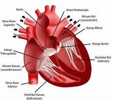 Sistem Peredaran Darah Manusia Gambar Pengertian