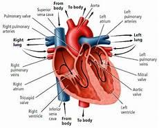 Jantung De Biology