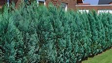 Welche Pflanzen Als Sichtschutz - nat 252 rlicher sichtschutz hecken richtig pflanzen ndr de