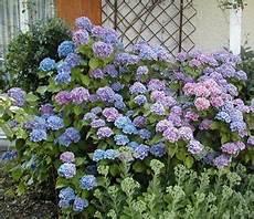 tailler les hortensias photos comment tailler les hortensias