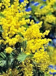 mimose pflanze kaufen mimose 246 l 100 naturreines 228 therisches 214 l acacia