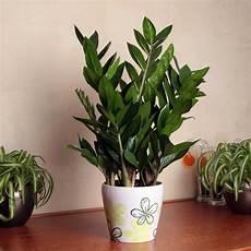 zimmerpflanzen groß pflegeleicht замиокулькас в домашних условиях размножение и выращивание