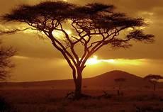 afrikanischer baum silhouette sunset on acacia tree flickr photo